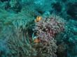 Clownfish 01