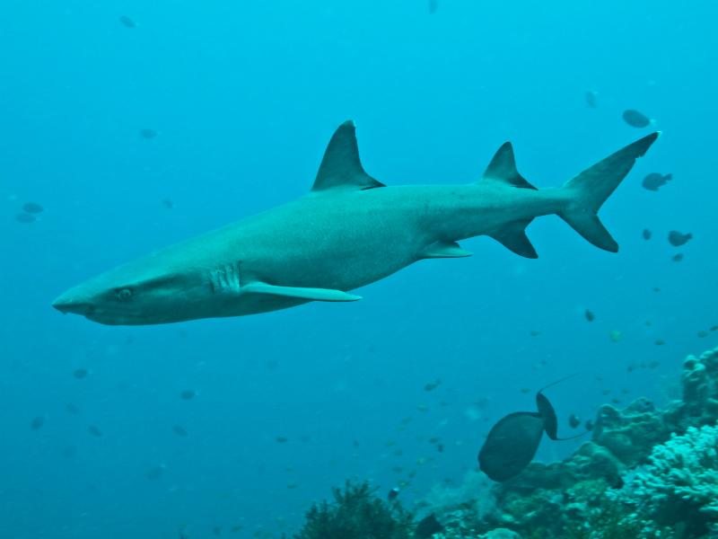Sipidan haai 01