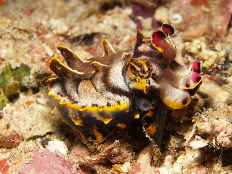 Flamboyant cuttlefish 03