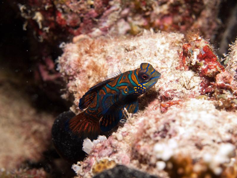Mandarin fish 03