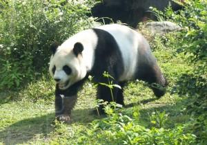 Panda in het buitenverblijf in de Taipei Zoo