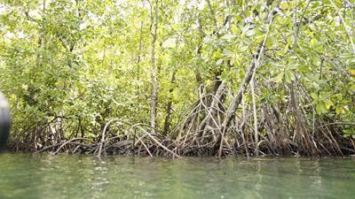 Mangrove bossen