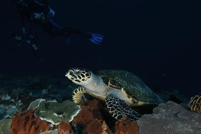 Hawksbill schildpad, dus toch maar even van 10 meter diepte terug naar 20 zakken.